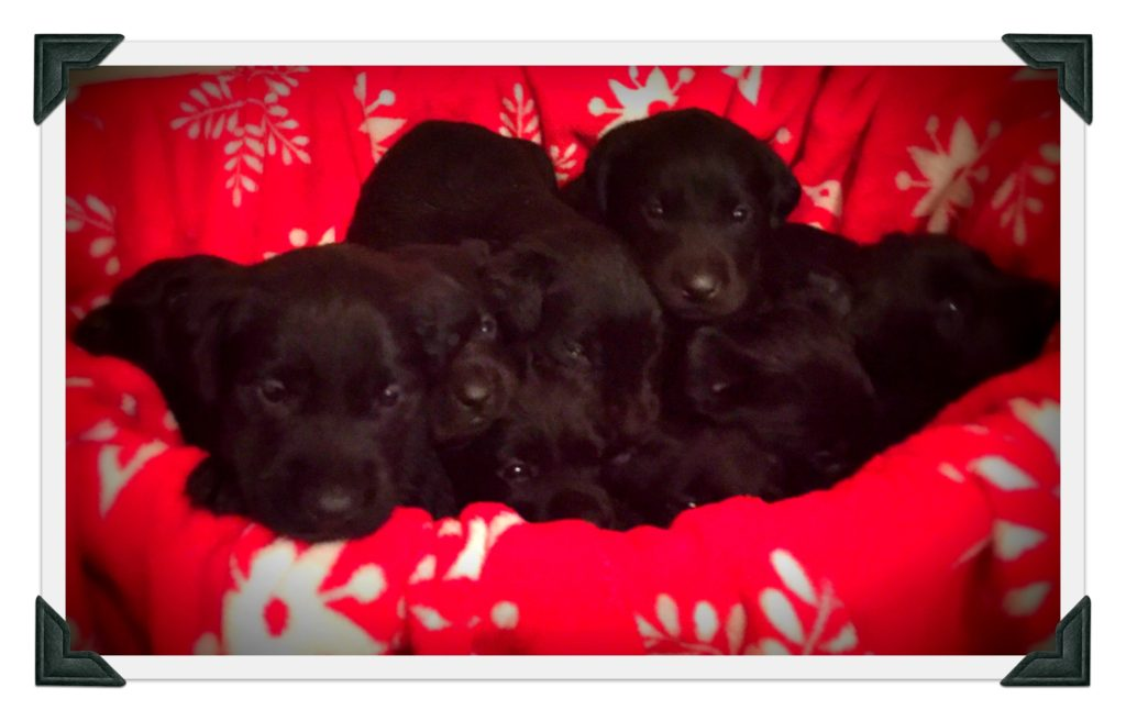 Current Litters – MTN View Kennels – Labradors – AKC Registered